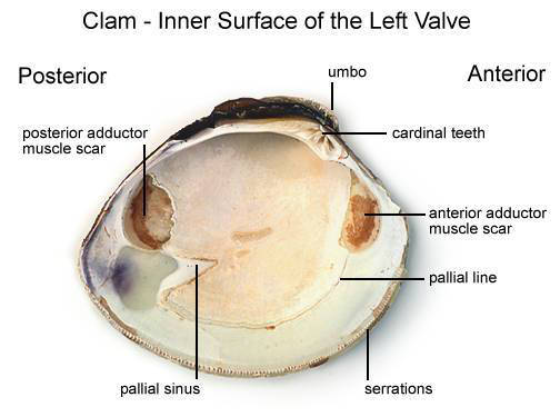 Clam - Inner Surface of the Left Valve (with labels)