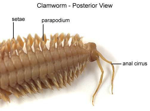 Clamworm - Posterior View (with labels)