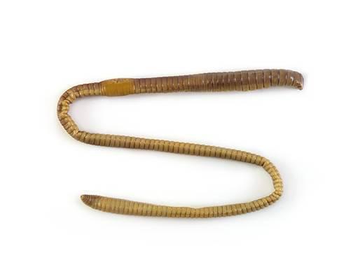 Earthworm - External Features