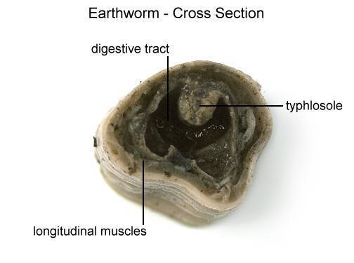 Earthworm - Cross Section (with labels)