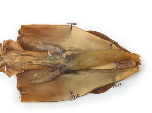 Squid - Internal Features (Male)