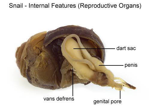 Snail - Internal Features (Reproductive Organs) (with labels)
