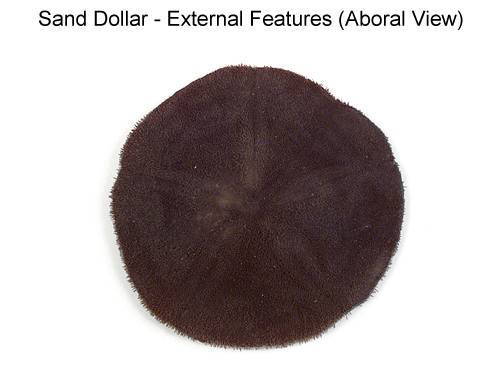 Sand Dollar - External Features (Aboral View) (with labels)