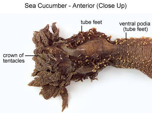 Sea Cucumber - Anterior (Close Up) (with labels)