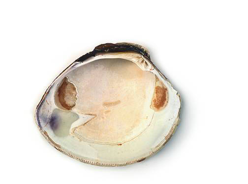 Clam - Inner Surface of the Left Valve