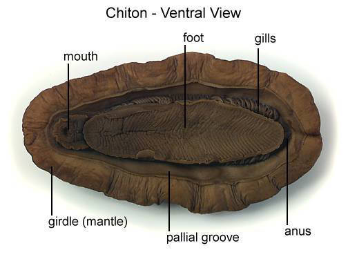 Chiton - Ventral View (with labels)