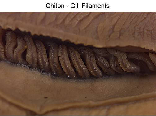 Chiton - Gill Filaments (with labels)