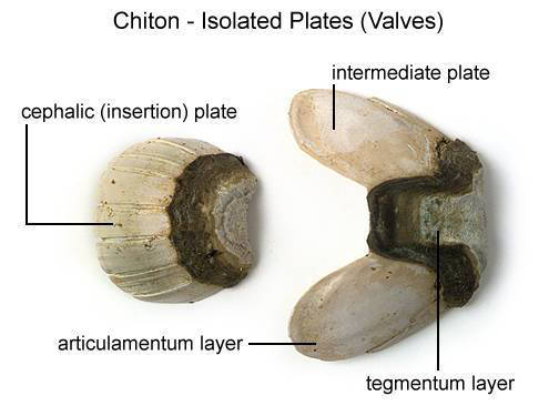 Chiton - Isolated Plates (Valves) (with labels)