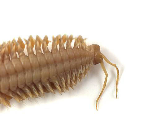 Clamworm - Posterior View