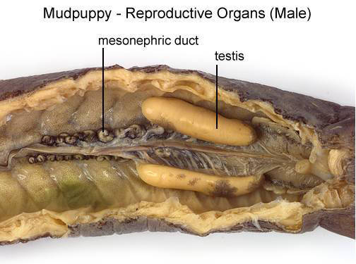 Mudpuppy - Reproductive Organs (Male) (with labels)
