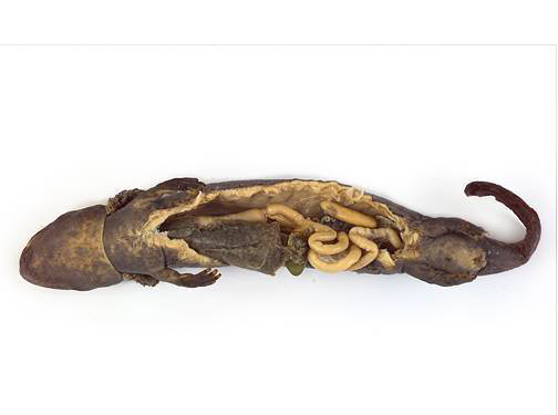 Mudpuppy - Internal Features (Male)