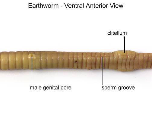 Earthworm - Ventral Anterior View (with labels)
