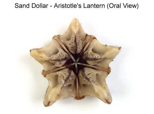 Sand Dollar - Aristotle's Lantern (Oral View) (with labels)
