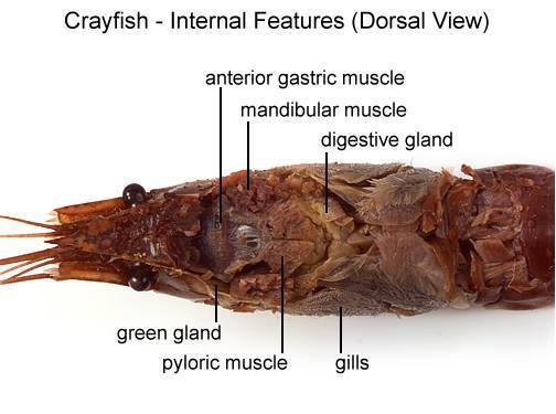 Crayfish - Internal Features (Dorsal View) (with labels)