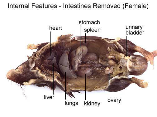 Mouse - Internal Features - Intestines Removed (Female) (with labels)