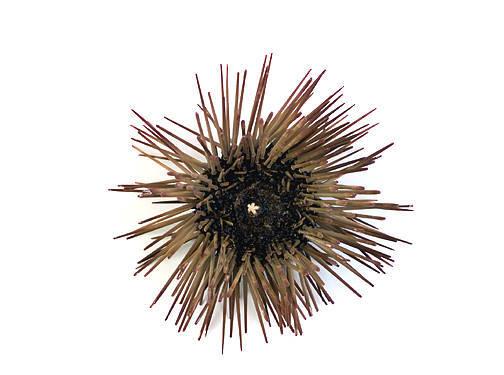 Sea Urchin - Oral View