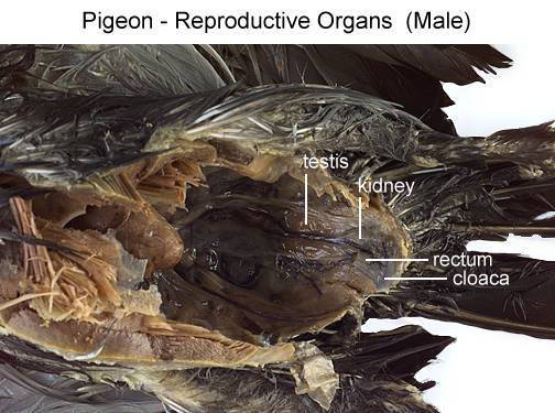 Pigeon - External Features (Ventral View) (with labels)