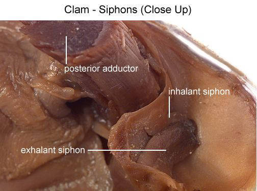 Clam - Siphons (Close Up) (with labels)