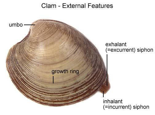 Clam - External Features (with labels)