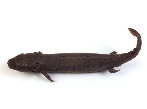 Mudpuppy - External Features (Dorsal View)