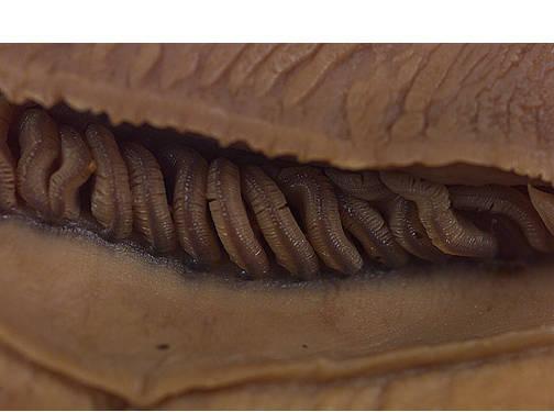 Chiton - Gill Filaments
