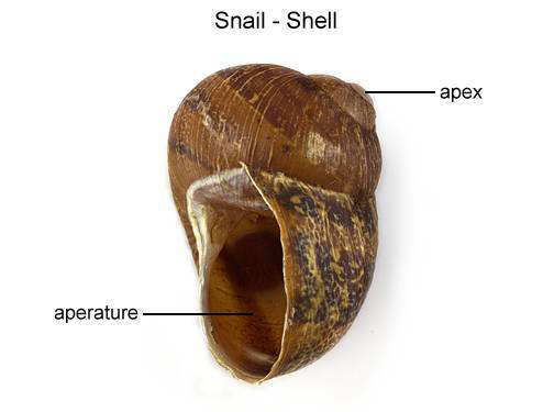 Snail - Shell (with labels)
