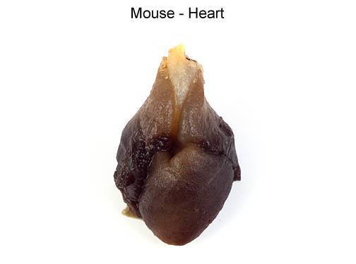 Mouse - Heart (with labels)
