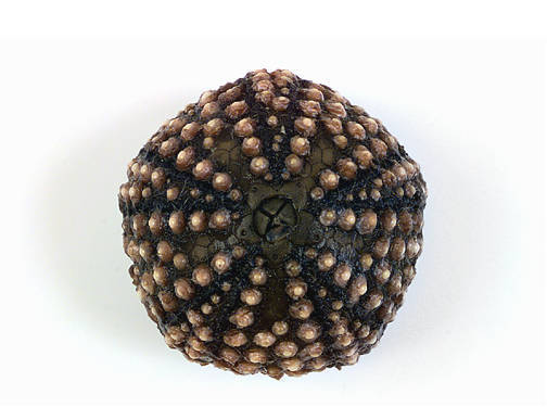 Sea Urchin - Aboral View (Spines Removed)