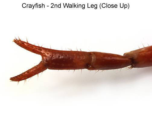 Crayfish - 2nd Walking Leg (Close Up) (with labels)