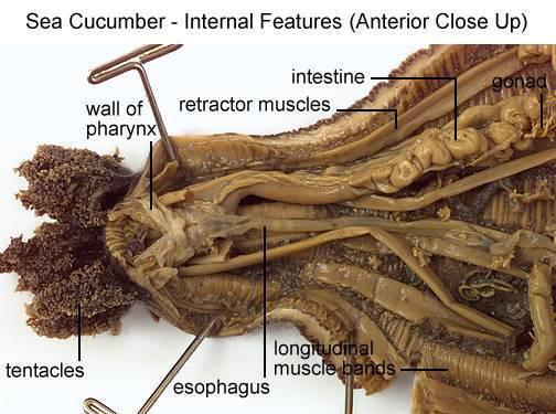 Sea Cucumber - Internal Features (Anterior Close Up) (with labels)