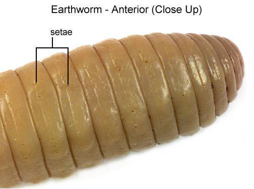 Earthworm - Anterior (Close Up) (with labels)