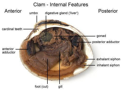 Clam - Internal Features (a) (with labels)