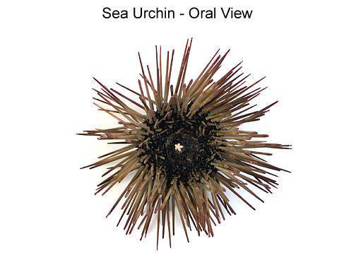 Sea Urchin - Oral View (with labels)
