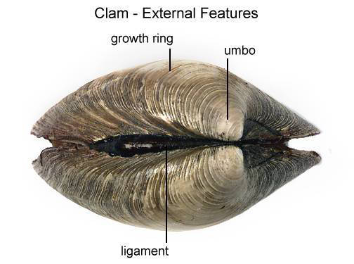 Clam - External Features (side) (with labels)
