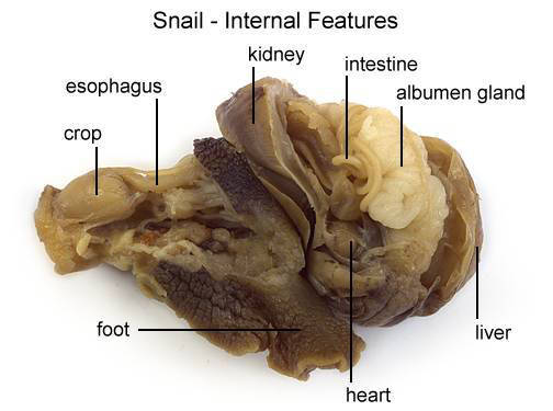 Snail - Internal Features (with labels)