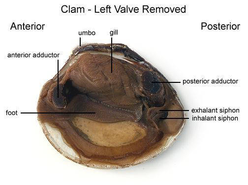 Clam - Left Valve Removed (with labels)