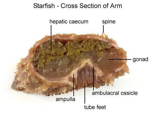 Starfish - Cross Section of Arm (with labels)