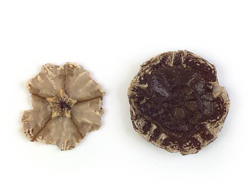 Sand Dollar - Internal Features