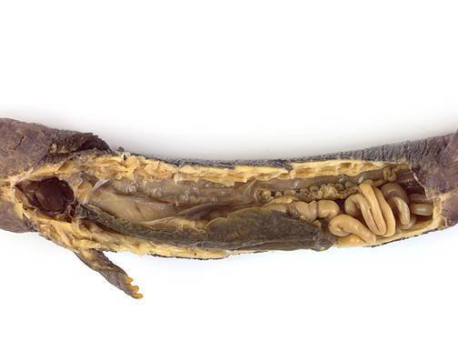 Mudpuppy - Internal Features (Female)