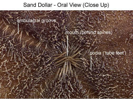 Sand Dollar - Oral View (Close Up) (with labels)