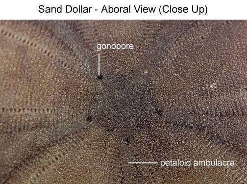 Sand Dollar - Aboral View (Close Up) (with labels)
