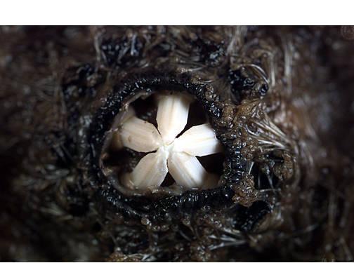 Sea Urchin, Oral View (Close Up)