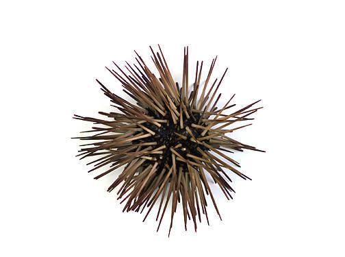 Sea Urchin - Aboral View