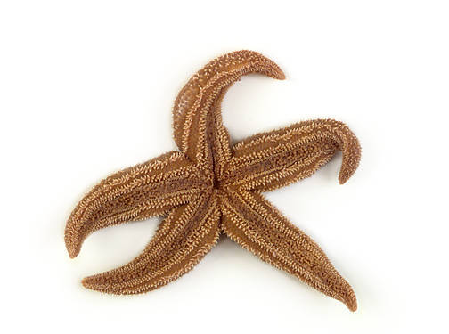 Starfish - Oral View