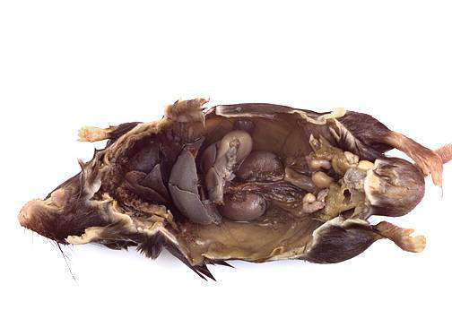 Mouse - Internal Features - Intestines Removed (Female)