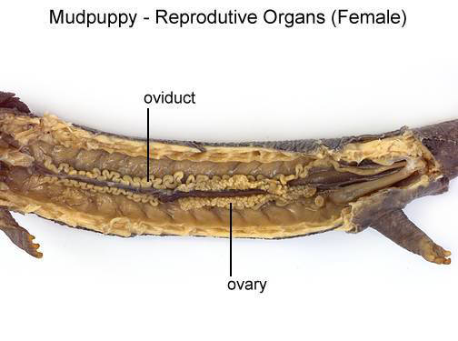 Mudpuppy - Reproductive Organs (Female) (with labels)