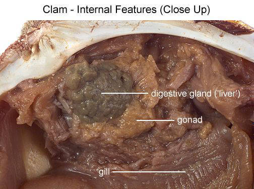 Clam - Internal Features (Close Up) (with labels)