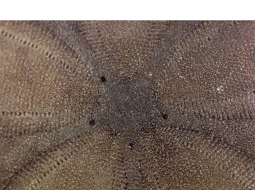 Sand Dollar - Aboral View (Close Up)
