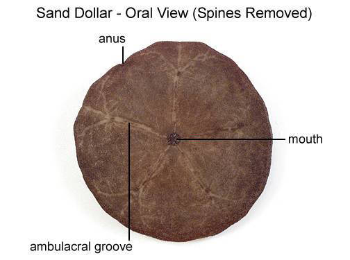 Sand Dollar - Oral View (Spines Removed) (with labels)