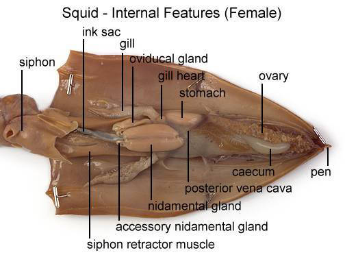 Squid - Internal Features (Female) (with labels)